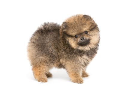 Small and funny Pomeranian puppy isolated on white background