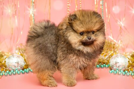 Little Pomeranian puppy and Christmas decorations on pink background