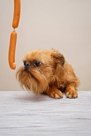 Brussels Griffon puppy and sausages on the table Banco de Imagens