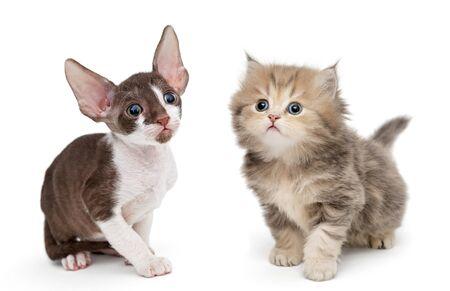 Les chatons se reproduisent British et Cornish Rex, isolé sur fond blanc Banque d'images