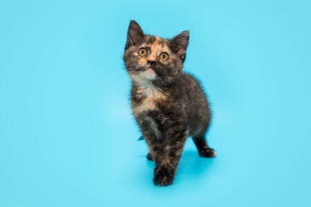 Tricolor small tortoiseshell kitten on a blue background