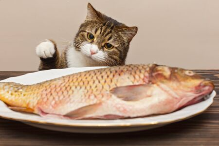 Grey cat wants to steal a big fish from a white plate on a wooden table