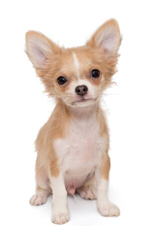 Small, beige color Chihuahua puppy isolated on a white background