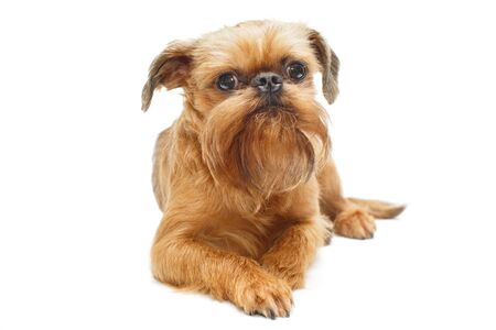Red puppy of the Brussels Griffon, isolated on a white background 写真素材
