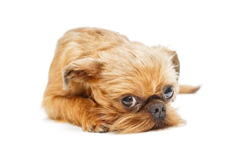 Sad puppy of the Brussels Griffon, lying on a white background 写真素材