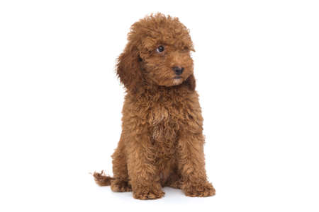 Puppy poodle chocolate color, isolated on white background Stock Photo