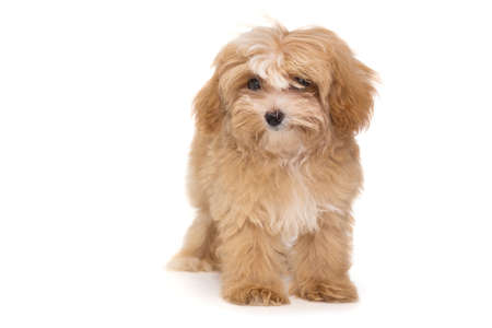 Little puppy maltipoo isolated on white background Banque d'images