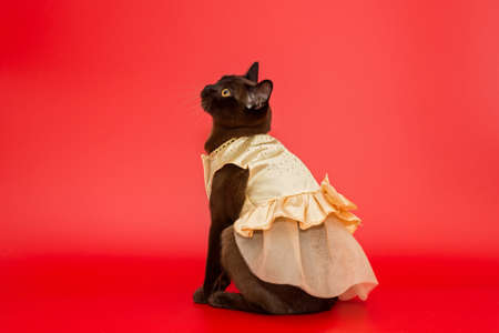 American Burmese cat in a beautiful dress on a red background