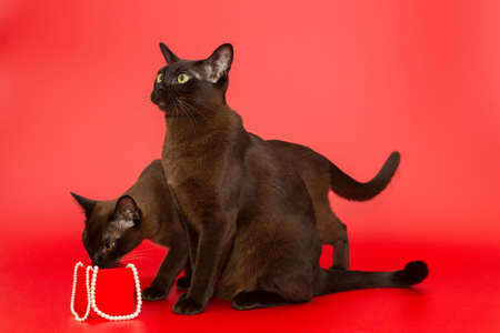 Two cats of the American Burmese and pearl on a red background