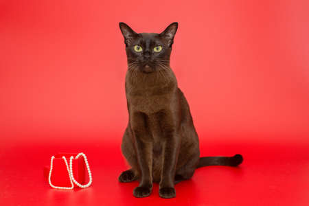 American Burmese cat and pearl on a red background