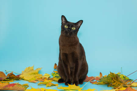 American Burmese and autumn, dry leaves on a blue background