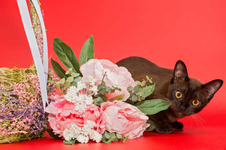 American Burmese cat with a basket and flowers sitting on a red background