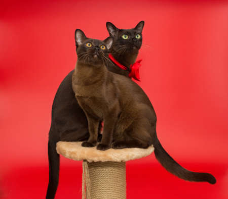 Two American Burmese cats sitting on a scratching post on a red background 스톡 콘텐츠