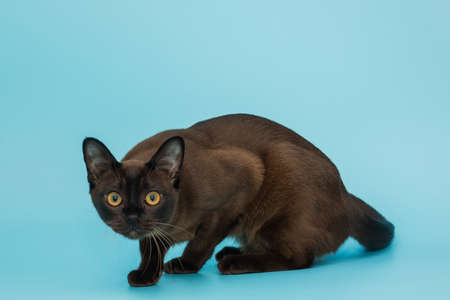 American Burmese cat on a blue background