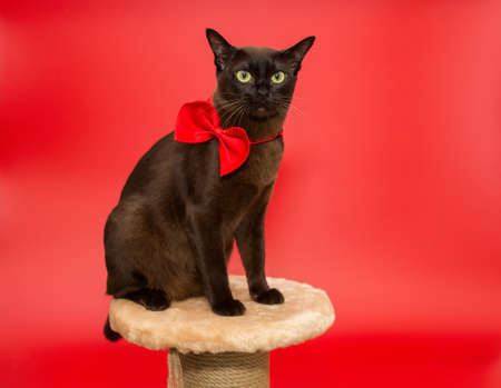 American Burmese cat sitting on a scratching post on a red background 스톡 콘텐츠