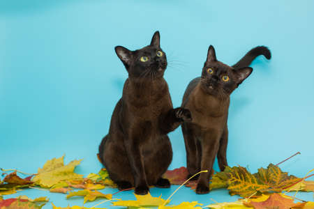 Two American Burmese cats and autumn leaves on a blue background 스톡 콘텐츠