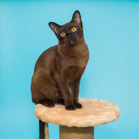 American Burmese cat sitting on a scratching post on a blue background