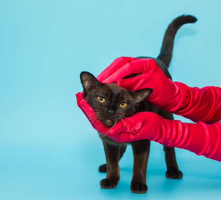 American Burmese and women's hands in red gloves on a blue background