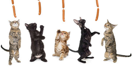 Group of kittens hunting for sausages, isolated on a white background