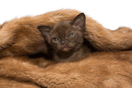 Small kitten of the European Burmese hides in a mink coat