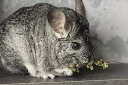 Chinchilla. Cute animal on a gray background