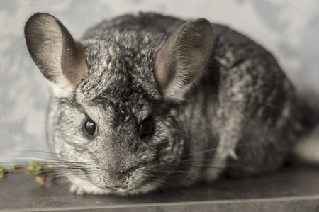 Chinchilla. Cute animal on a gray background