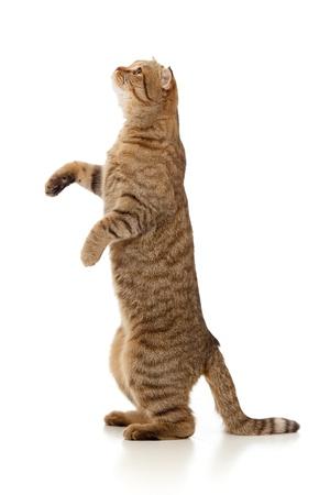 standing Scottish tabby-cat isolated on white photo