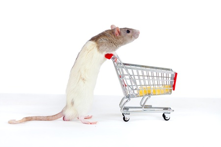 domestic rat pushes shopping cart with cheese photo