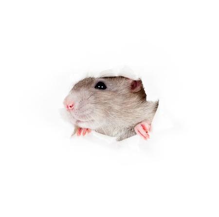 rata: rata gris doméstico en el agujero lateral del papel rasgado aislado