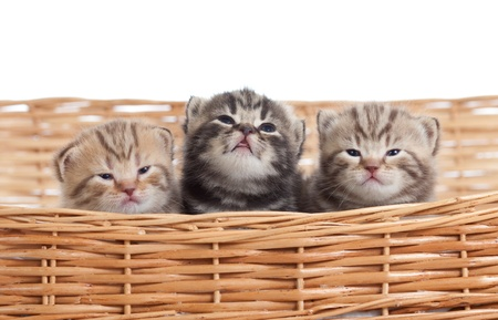 Adorable small kittens in wicker basket photo