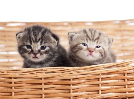 Two adorable small kittens in wicker basket photo