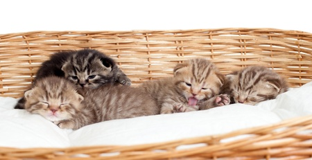 five small scottish kittens in basket photo