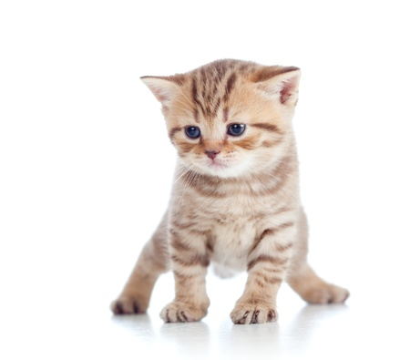 funny Scottish british kitten standing on floor photo