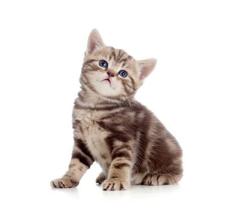 cuddly: baby Scottish british kitten isolated on white background Stock Photo