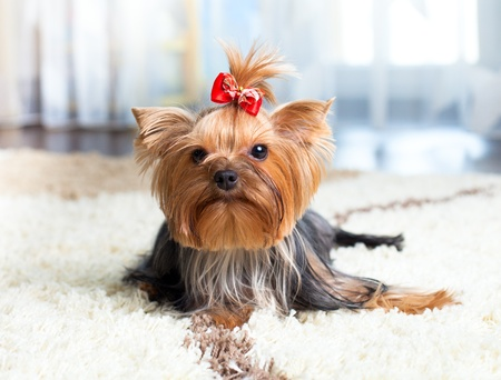 puppy yorkshire terrier indoor Stock Photo