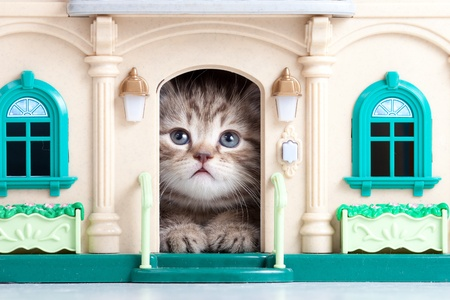 british pussy: small kitten sitting in toy house Stock Photo