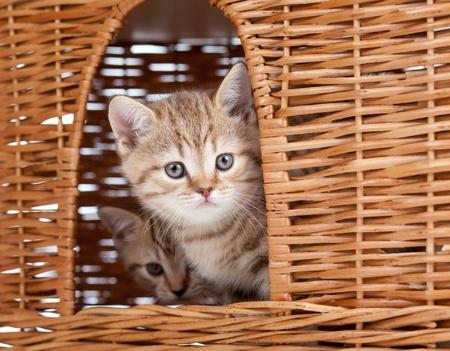 funny little Scottish kitten sitting inside wicker cat house photo