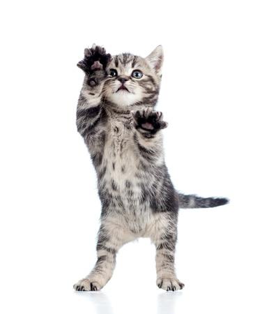 kotek: śmieszne stojący zabawny kotek na białym tle