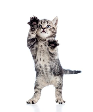 kitten: funny standing playful kitten isolated on white background