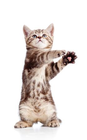 is playful: gracioso gatito juguetón de pie sobre fondo blanco