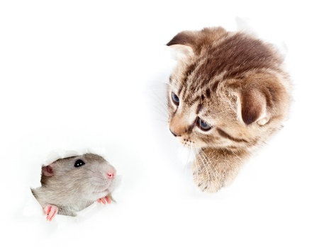 kitten and domestic rat looking out hole in  torn paper photo
