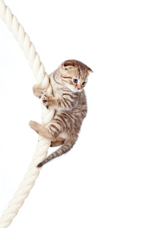 climbing cable: Scottish fold kitten climbing on rope isolated on  white background