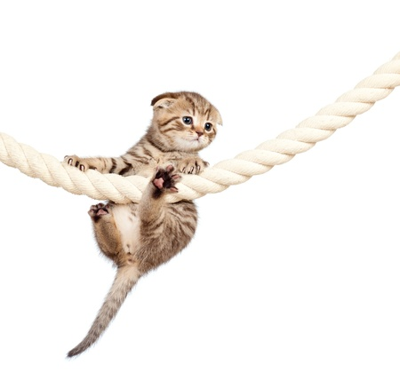 Scottish fold kitten climbing on rope isolated on  white background photo