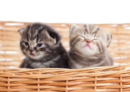 two funny small kittens in wicker basket  photo