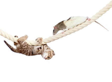 lashing: young cat and rat climbing on rope isolated on  white background Stock Photo
