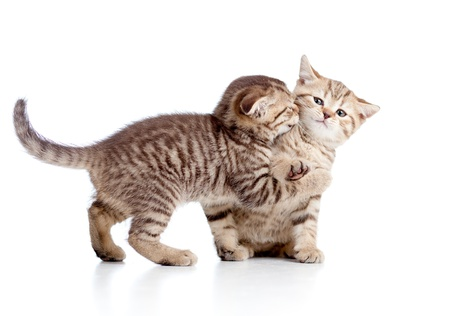 two funny playful small kittens playing with each other photo