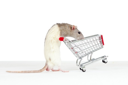 checkout stand: domestic rat pushes shopping cart
