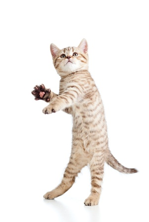 animal pussy: Funny playful cat is jumping  Isolated on white background