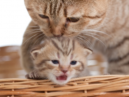 british pussy: Adorable small kitten with mother cat in basket