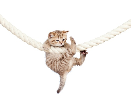 funny cat: little cat clutching at rope isolated on white background